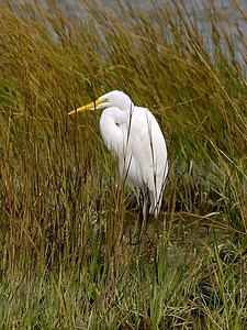Great Egret, Ardea alba L., Chincoteague, VA